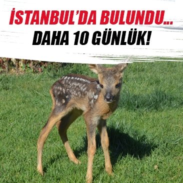 İstanbul'da ormanlık alanda yavru karaca bulundu