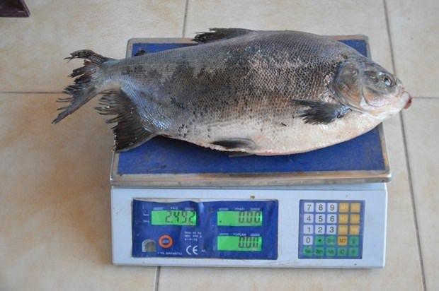 İznik Gölü'nde 2,5 kiloluk pirana yakalandı