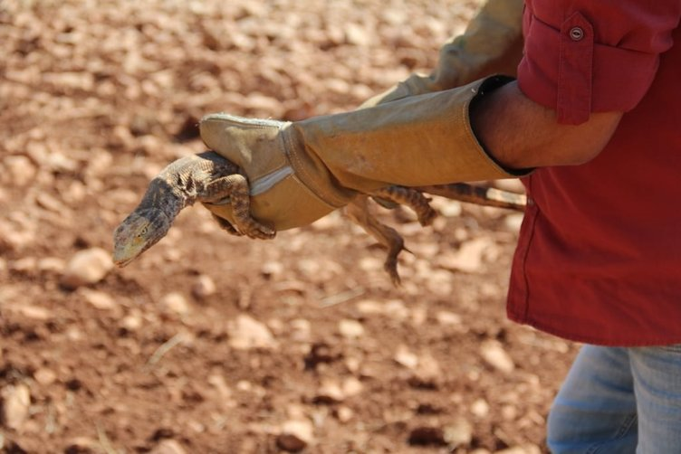 Şanlıurfa'da bulunan çöl varanı doğaya bırakıldı