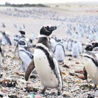 Arjantin'e penguen akını