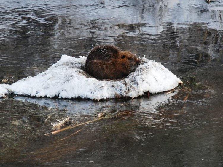 Karasu Nehri'nde su maymunları görüntülendi