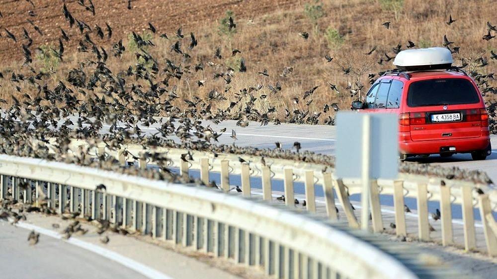 Soğuk onları da vurdu, binlerce sığırcık kara yolunu kapattı